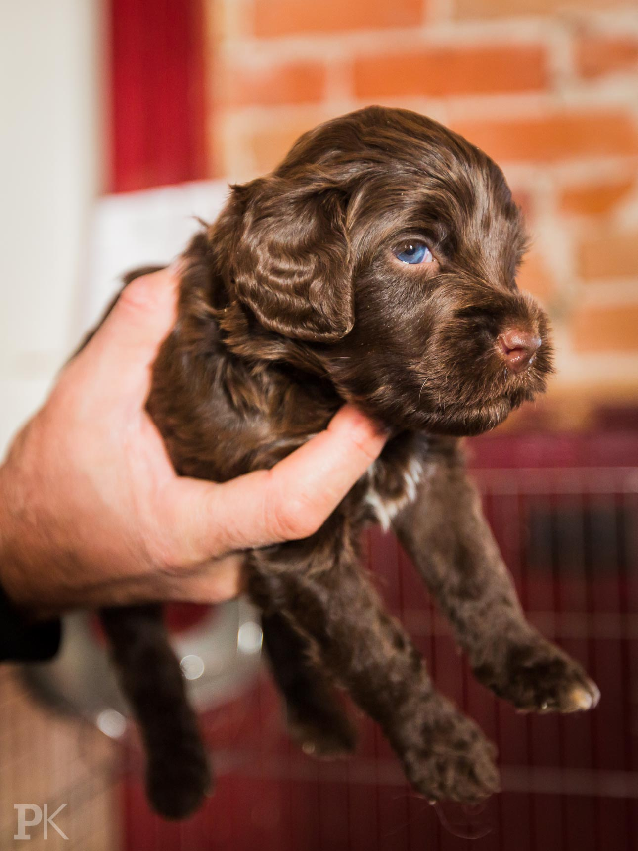 Our Future Brown Portuguese Water Dog Puppy